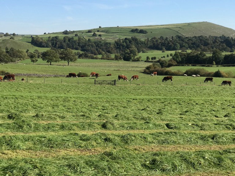 cows grazing.jpg