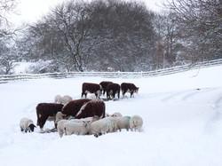 snow cattle .jpg