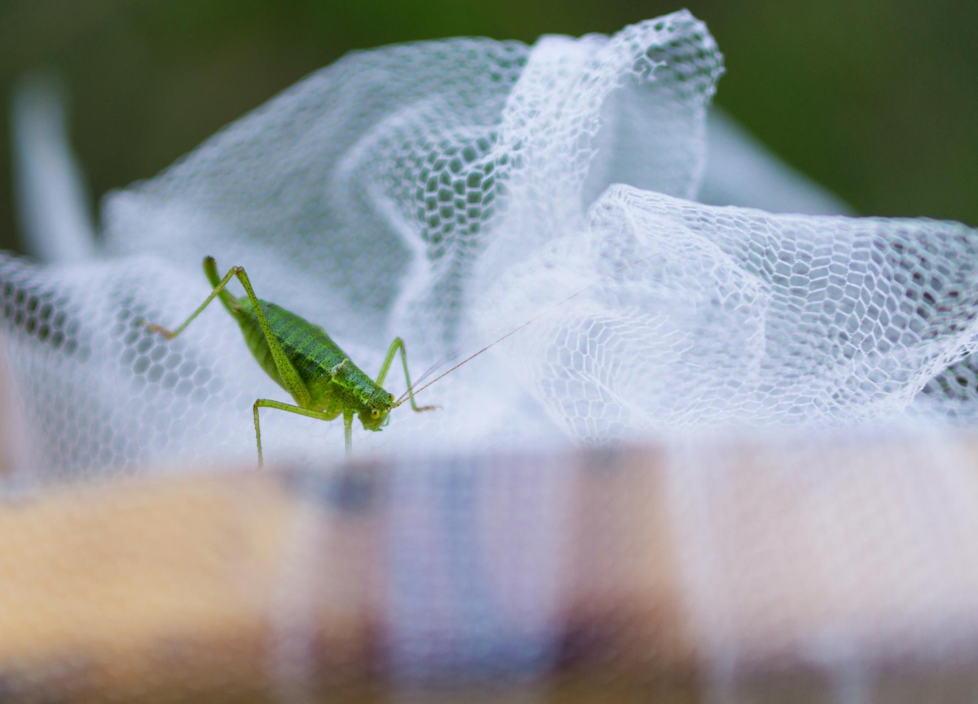 Wedding grashopper