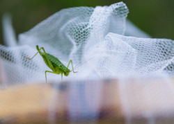 Wedding grashopper