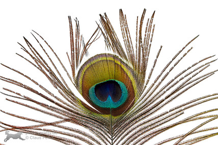 Pfauenfedern | Peacock feather