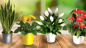 Can Indoor Plants Really Purify the Air?