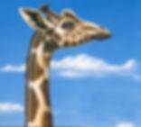 Girafe, Illustration girafe, Luc Favreau