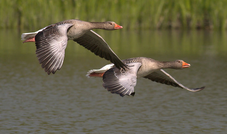 canada-geese-348290_1920.jpg