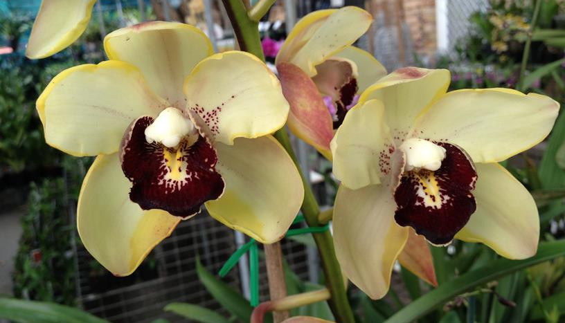 yellow_orchids.jpg
