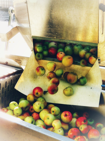 Apples tipped into water bath