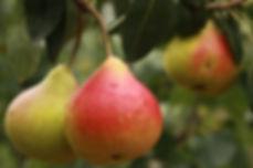 pear-2297977_1280.jpg
