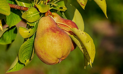 pear-3560106_1280.webp
