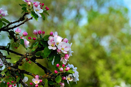 apple-blossoms-3863652.jpg