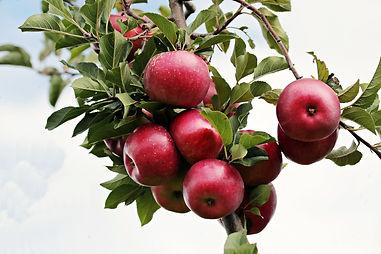 apple-2788599.jpg