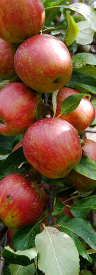 apples-498659.jpg
