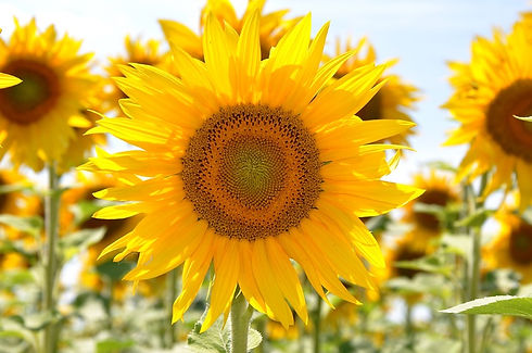 plant-field-flower-summer-yellow-flora-7