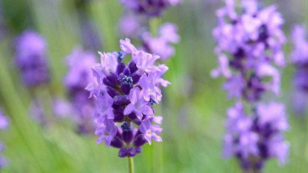Lavender (Lavandula angususttifolia),15 ml