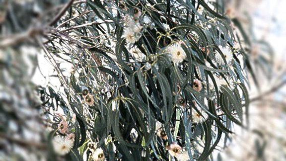 Eucalyptus (Eucalyptus golobulus),15 ml