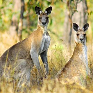 5096-eastern-grey-kangaroos.jpg