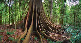 tree - manning valley.jpg