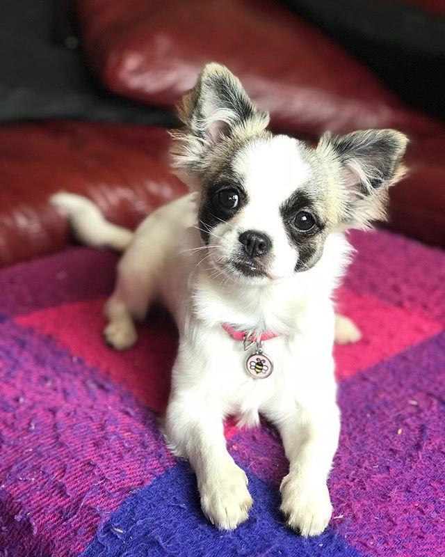 Kiwi the Shitzu X Chihuahua