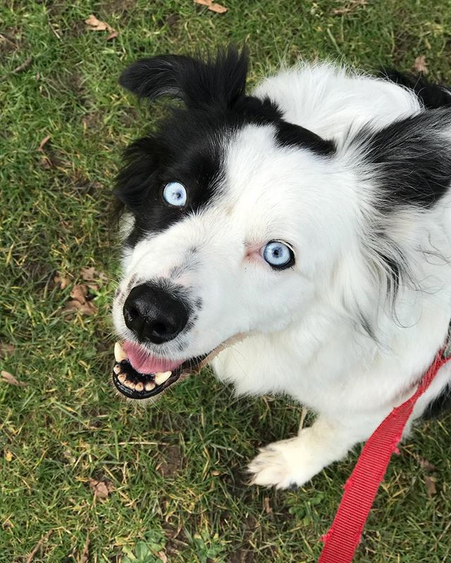 Tilly the Border Collie