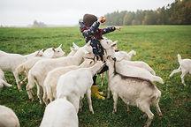 Kid Feeding Goats