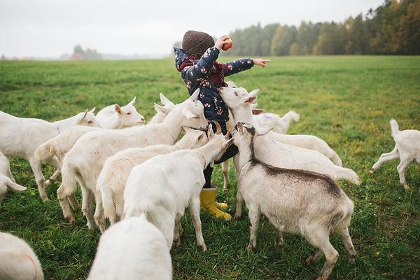 Kid Fôring Goats