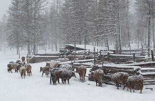 mongolian livestock.jpg
