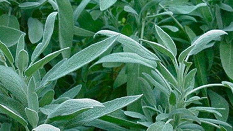 Organic Sage Capsules (Salvia officinalis)
