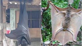 Murciélagos gigantes, nuevo pánico en el mundo
