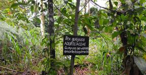 La planta de la eterna juventud ha sido descubierta en la Amazonia Ecuatoriana