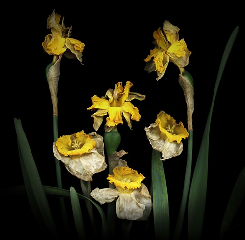 Robert Schultz, Plague Spring 1: Daffodils