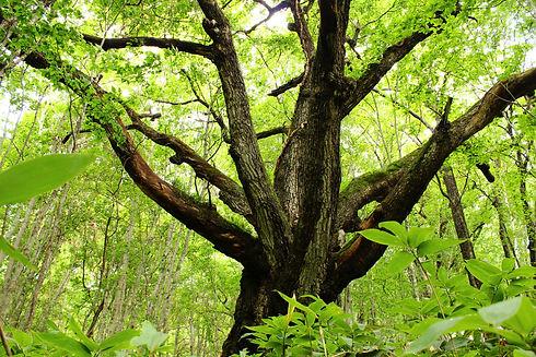【癒しの森】【癒しの森】3大ミズナラ・最上-20110903-1.JPG