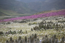 Desierto Florido, región de Atacama