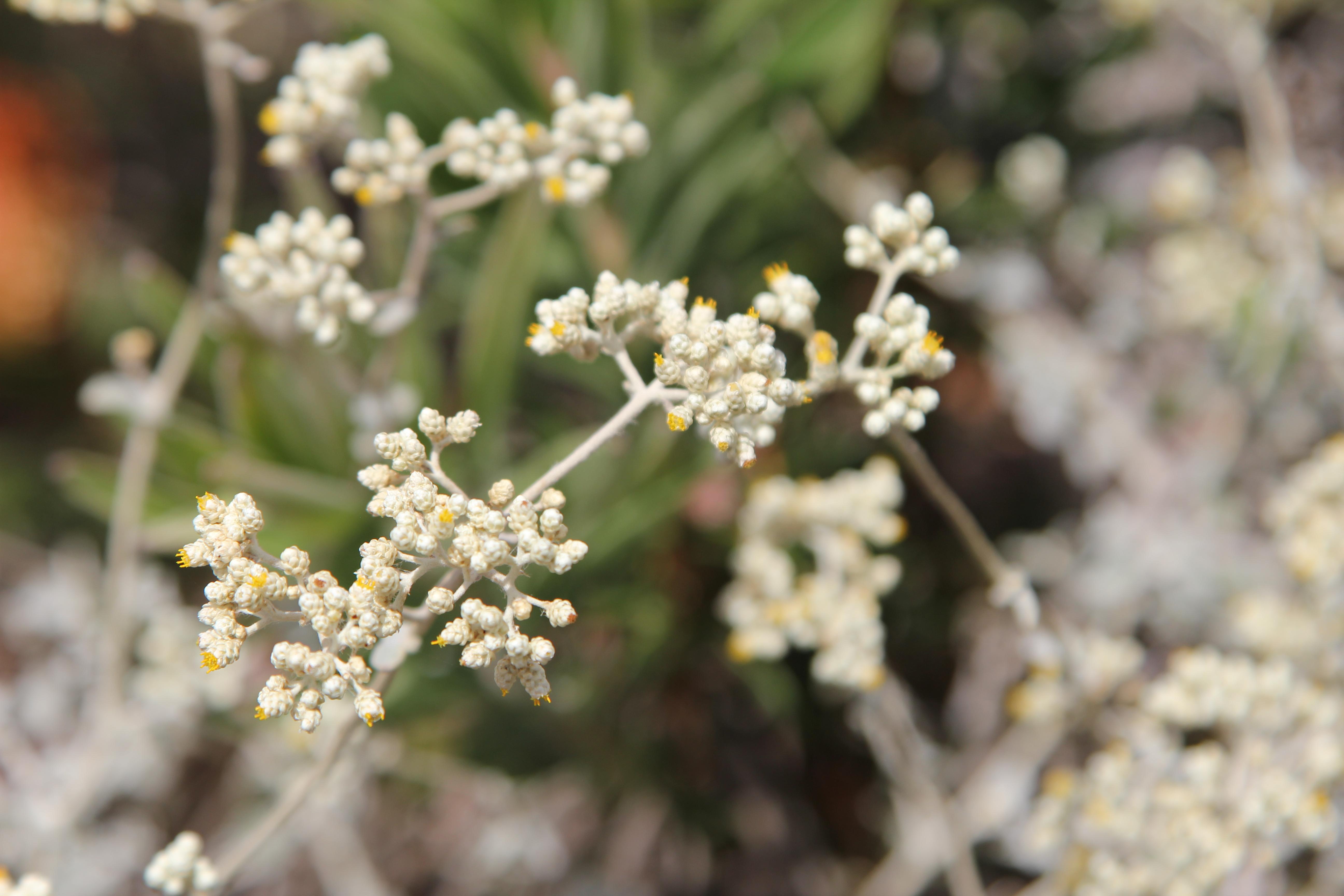 Local Fynbos wildflowers
