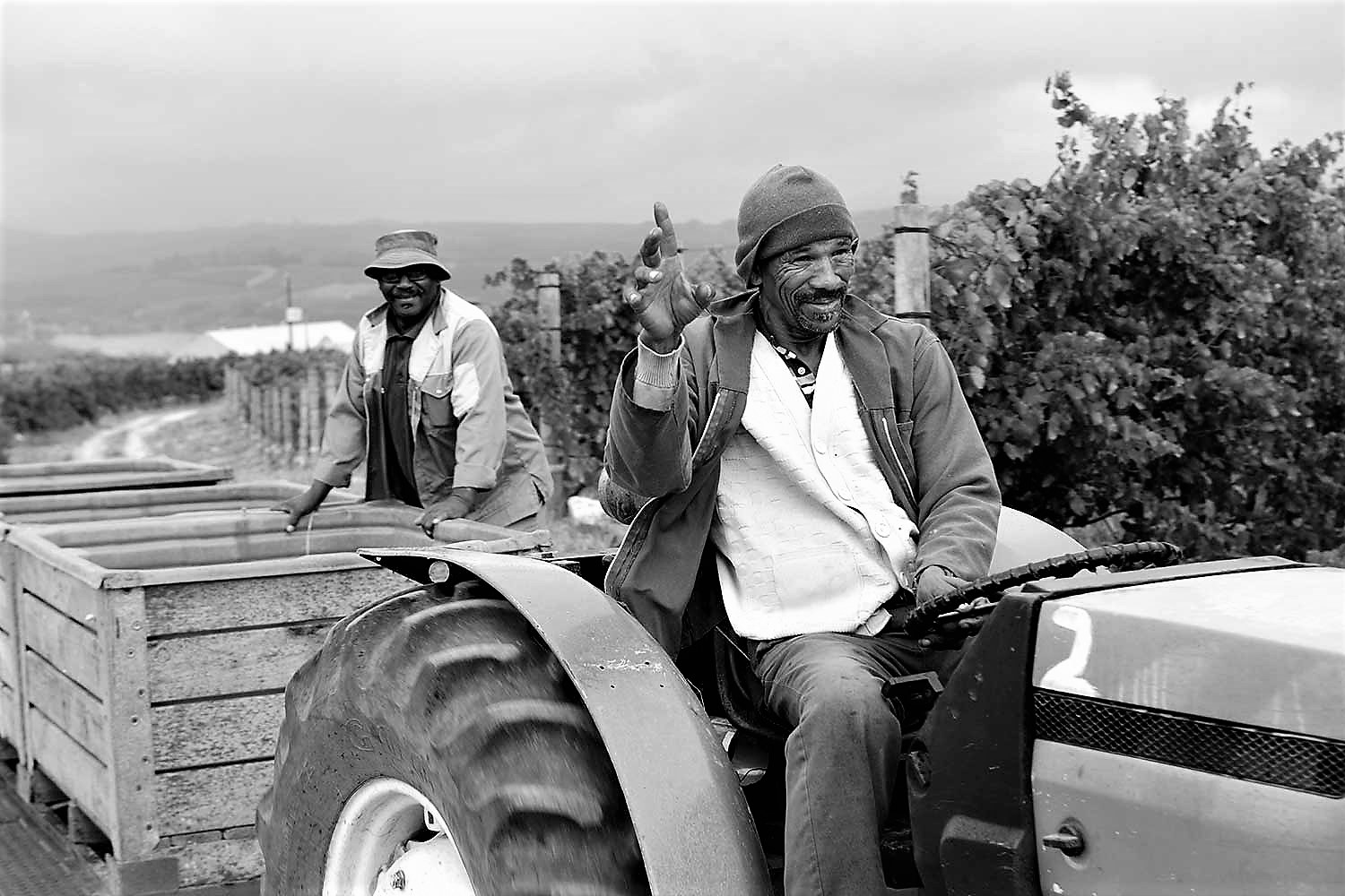Harvest time in the Winelands