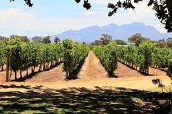 Vergenoegd Vineyard - Stellenbosch