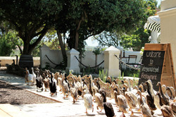 Duck Parade - Vergenoegd