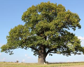 Oak Tree (Ms. Martha)