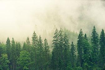 Pine Tree (Ms. Maria)