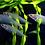Thumbnail: Glass Catfish