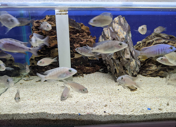Assorted Cichlids