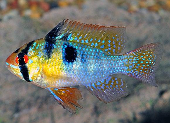 Blue Ram Chichlid (Mikrogeophagus ramirezi)