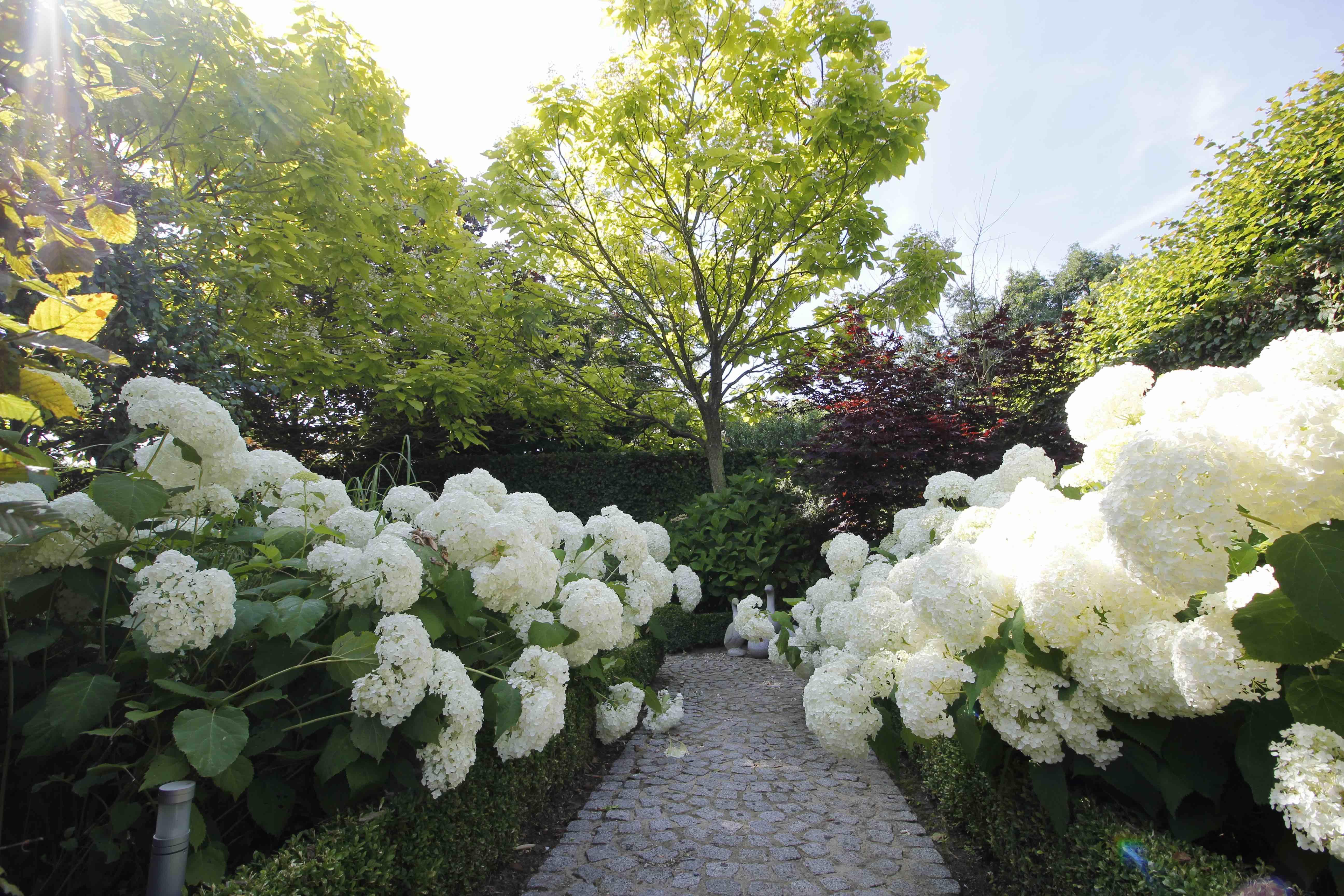 hortensia aanplanten