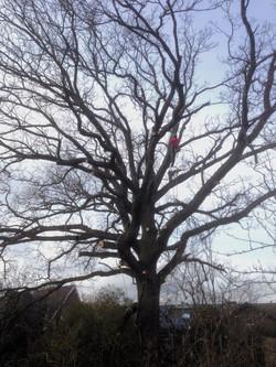Snoeien van grote bomen