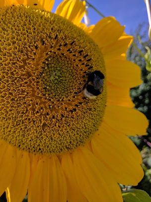BumblebeeSunflower.jpg