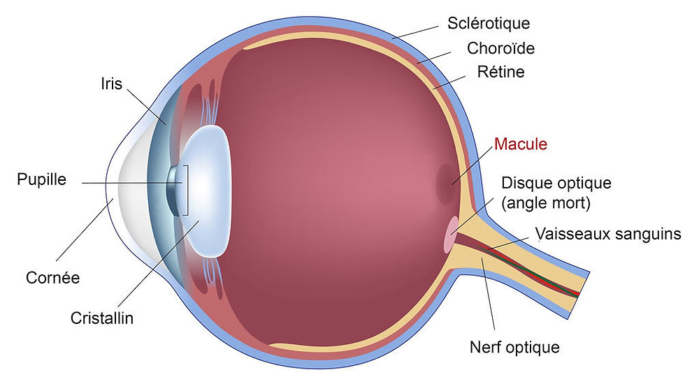 les differentes parties de l oeil