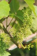 Floraison des vignes à Chantonnay