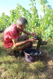 Alban Orion récolte les raisins à la mai