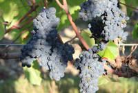Raisins noirs Vendée