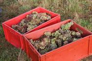 raisins en caissette