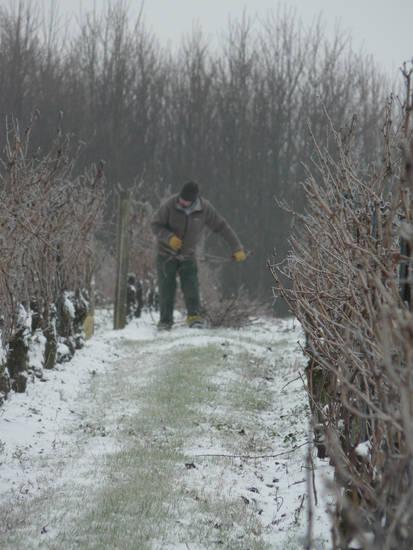 taille d'hiver à Chantonnay