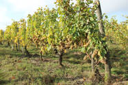 vignes Domaine de la Barbinière